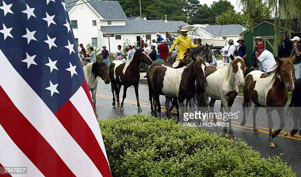 Wild Assateague ponies are led through town 30 July 2003 shortly after the swim across the Assateague Channel to Chincoteague, Virginia, where...