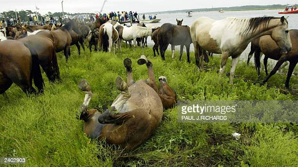 Wild Assateague pony rolls over and rubs his back after a swim in the Assateague Channel 30 July 2003 crossing to Chincoteague, Virginia, where...