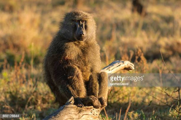 wild baboon sitting on tree stump - baboon stock photos and pictures
