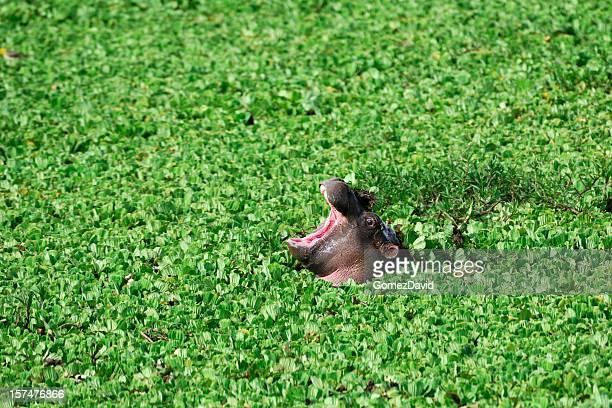 Wild Baby Hippo mit sich über schwimmende Muschelblume