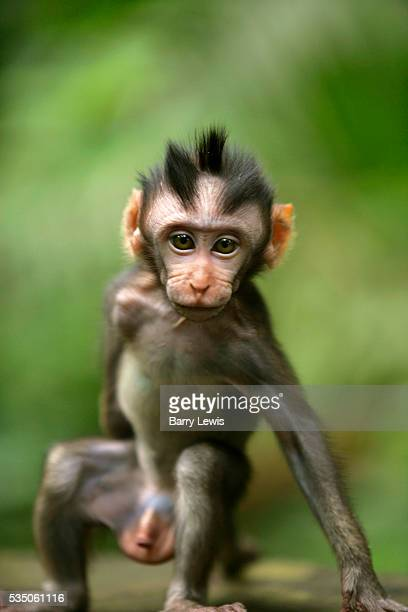 Wild baby macaque monkey in the lush rainforests of Ulu Watu southern Bali Indonesia