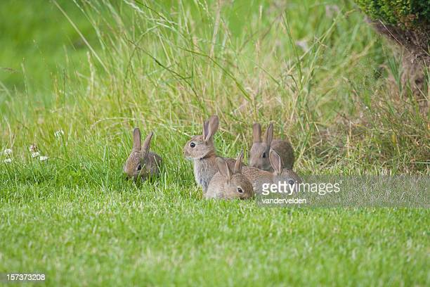 wild baby rabbits - small group of objects stock pictures, royalty-free photos & images