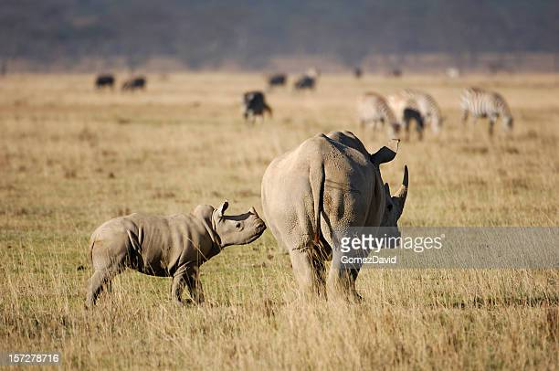 wild baby white rhino and his mother - lake nakuru stock photos and pictures