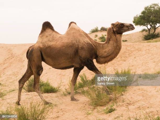wild bactrian camel (two humps) in inner mongolia china near xilinhot. - chameau photos et images de collection