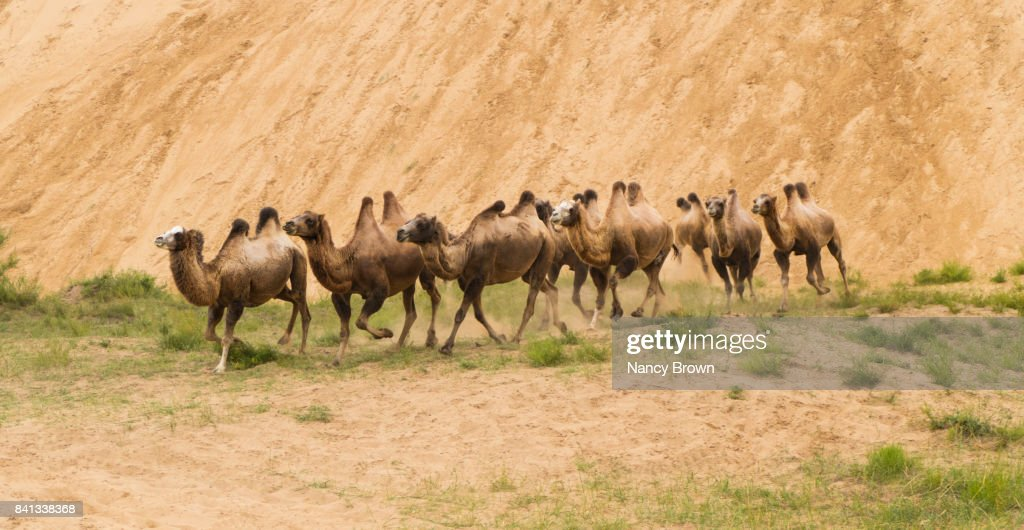 Wild Bactrian Camels Two Humps In Inner Mongolia China Near Xilinhot