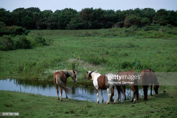 wild baker ponies drinking water - cape hatteras stock pictures, royalty-free photos & images