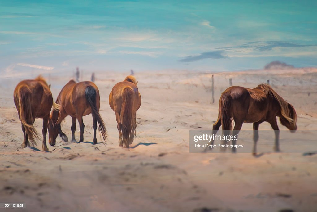 Wild Band of Ponies on the Beach : Stock Photo