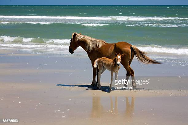 a wild banker pony mare and her foal, outer banks, north carolina - outer banks stock pictures, royalty-free photos & images