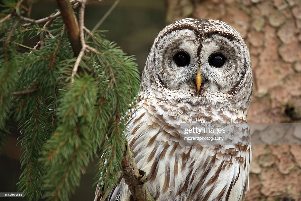 Wild Barred Owl  : Stock Photo