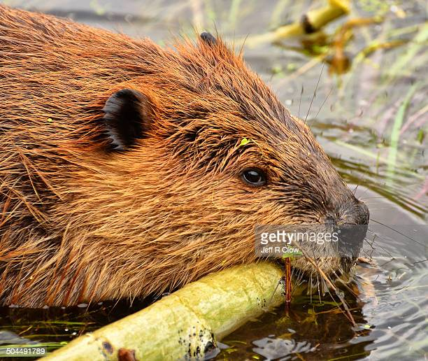 wild beaver at work - beaver stock photos and pictures