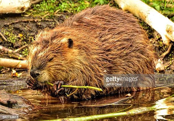 A Wild beaver feeding