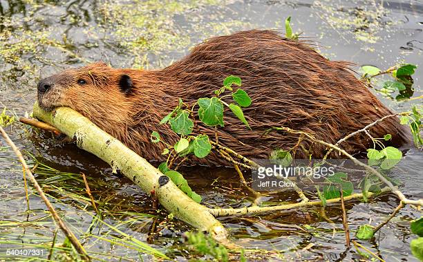 wild beaver working hard - beaver stock photos and pictures