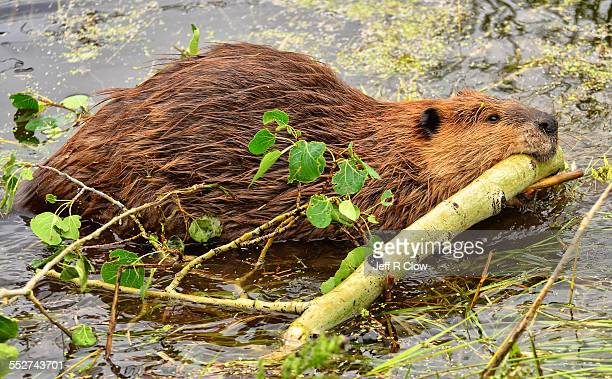 wild beaver working hard - beaver stock pictures, royalty-free photos & images