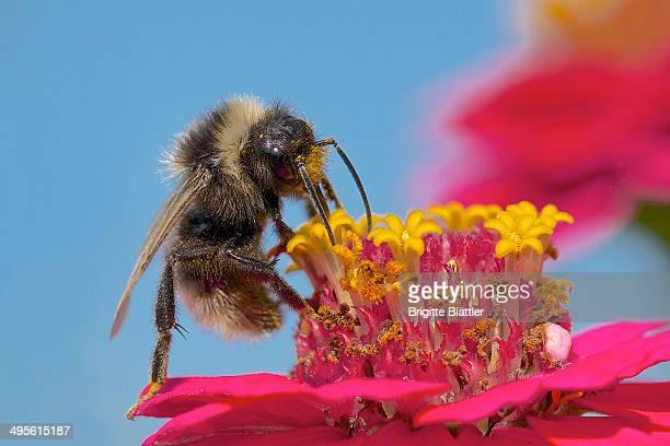 Wild bee on pink zinnia
