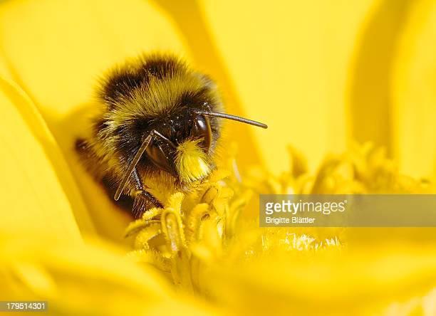 Wild Bee on Zinnia