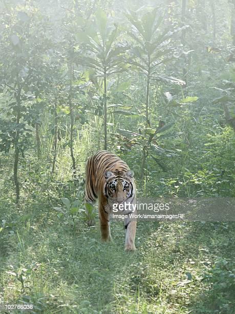 A wild Bengal tiger