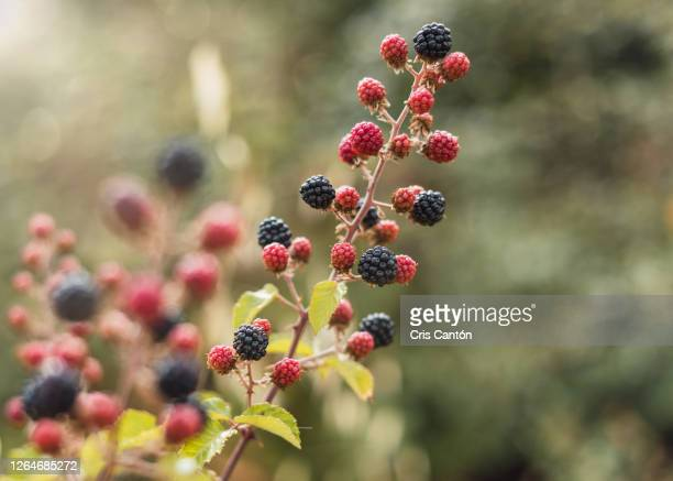 wild berries - ripe stock pictures, royalty-free photos & images