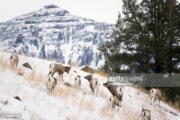wild bighorn sheep herd snowy mount norris lamar valley yellowstone national park wyoming - milehightraveler stock pictures, royalty-free photos & images