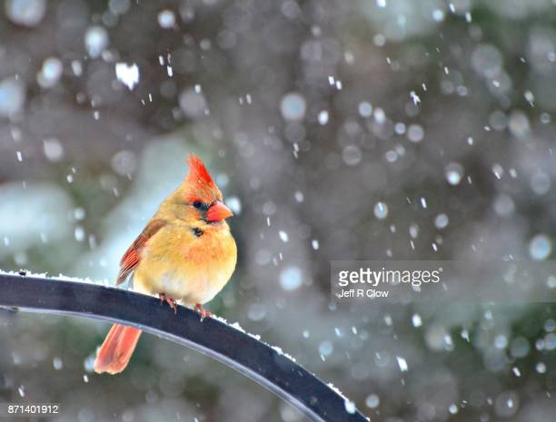 Wild Bird in the Snowfall in Texas