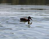 wild birds ducks their natural habitat