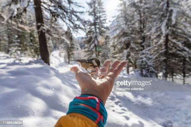 wild birds eating from human hands in forest park - kanton graubünden stock-fotos und bilder