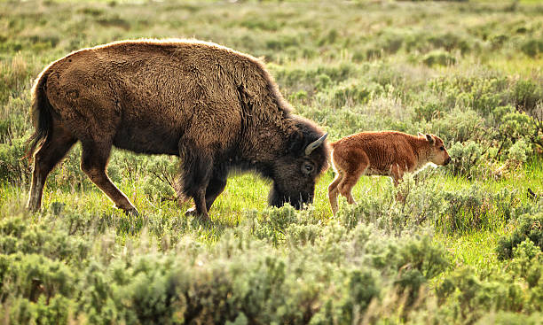 Wild Bison Cow And Calf Wall Art