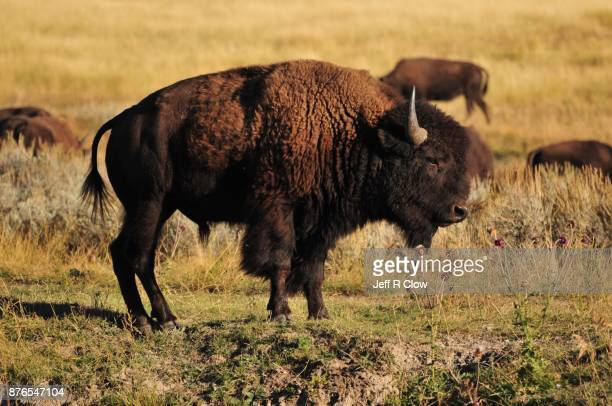 Wild bison in the meadow 3