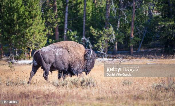 Wild Bison in Yellowstone National Park