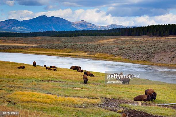 wild bison roam free beneath mountains in yellowstone national park - oxen stock photos and pictures