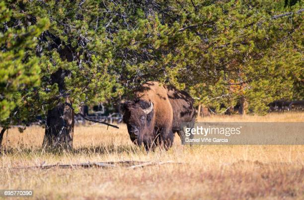 Wild Bison Roam Free Beneath Mountains in Yellowstone National Park