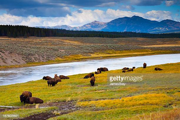 wild bison roam free beneath mountains of yellowstone national park - wild cattle stock photos and pictures