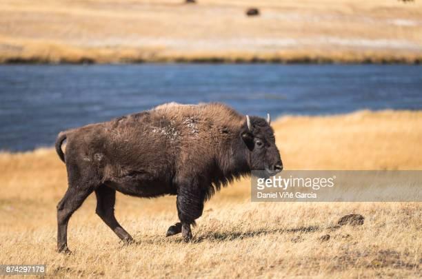 Wild Bison Roam Free in Yellowstone National Park