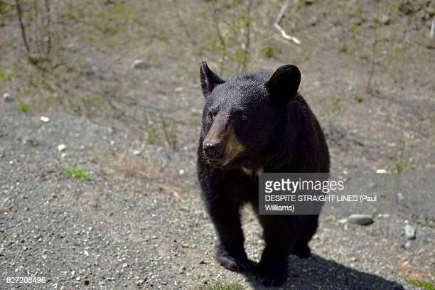 wild black bear cub, alaska highway - bear cub stock pictures, royalty-free photos & images