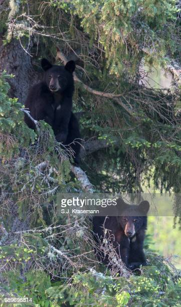 Wild Black Bear yearling cubs looking at viewer from up in spruce tree branches.