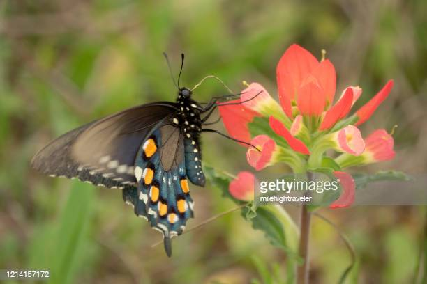 wild black pipevine swallowtail indian paintbrush flowers attwater prairie chicken national wildlife refuge - milehightraveler stock pictures, royalty-free photos & images