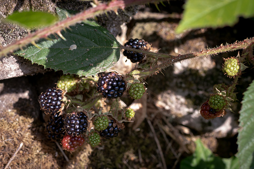 Wild blackberries growing freely in nature. Ripe and unripe berries on a bush 1043807092