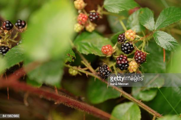Wild Blackberry Bushes Stock Photos And Pictures Getty