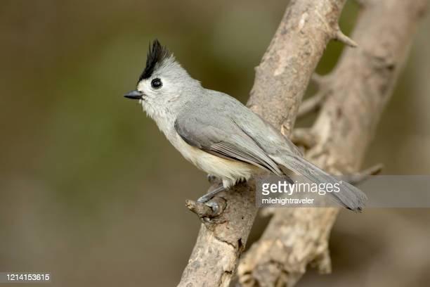 wild black-crested titmouse bird laguna atascosa national wildlife refuge - milehightraveler stock pictures, royalty-free photos & images