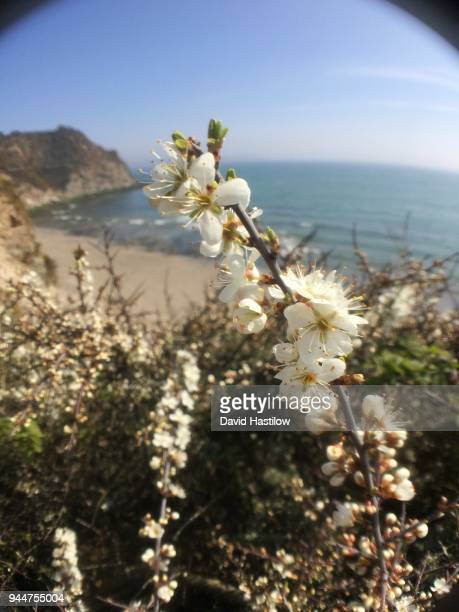 wild blackthorn sloe flowering above beach and cliffs of cornwall - david cliff stock pictures, royalty-free photos & images