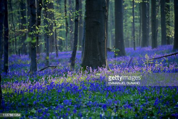 Wild bluebells blooming turn Hallerbos a forest also known as the Blue Forest into a blue carpet of flowers near Halle on April 18 2019