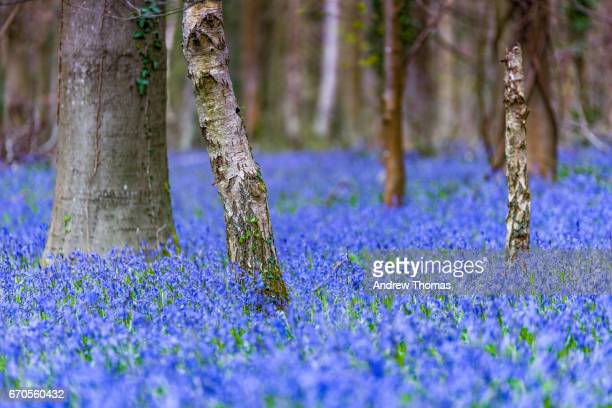 wild bluebells - bluebell wood stock pictures, royalty-free photos & images