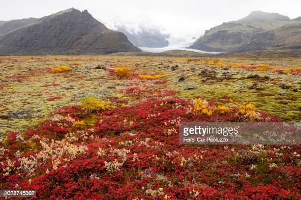 wild blueberry plants in front of glacier skaftafellsjökull at skaftafell national park of iceland - skaftafell national park stock photos and pictures