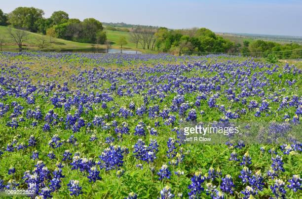 wild bluebonnets in north texas on a hill too - texas bluebonnet stock pictures, royalty-free photos & images