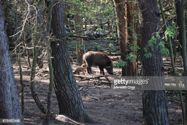 Wild Boar and Baby