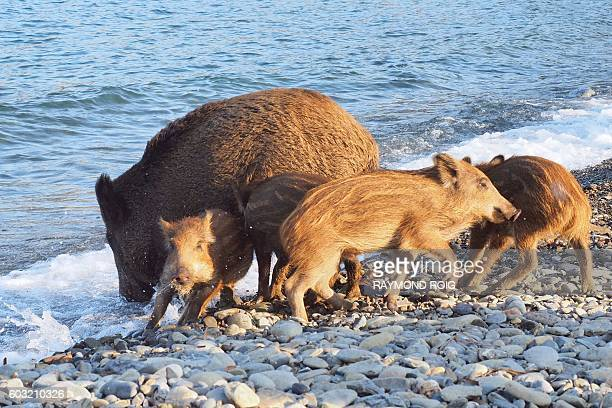 A wild boar and her piglets arrive on a beach to cool off in sea water on September 12 2016 in Cerbere southwestern France / AFP / RAYMOND ROIG