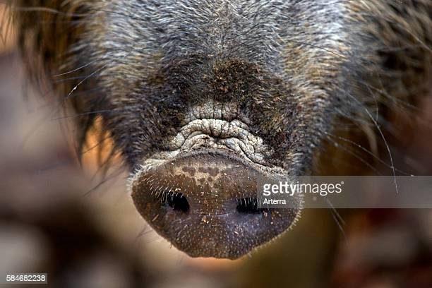 Wild boar close up of snout in autumn forest in the Belgian Ardennes Belgium