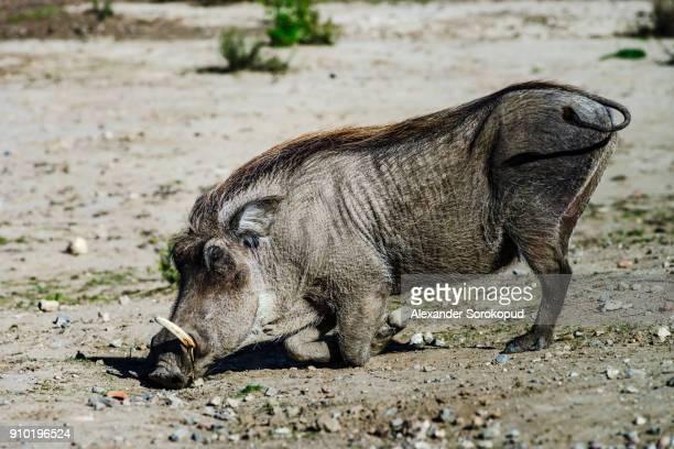 wild boar, common warthog in safari park, sigean, france - facocero foto e immagini stock