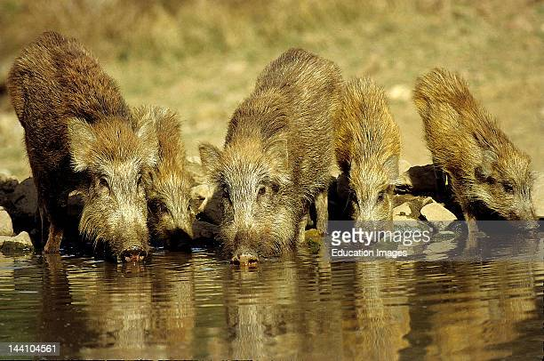 Wild Boar Drinking Sariska Wildlife Sanctuary Rajasthan India