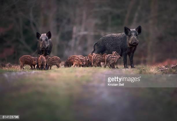 wild boar (sus scofa) family on woodland path - wildschwein stock-fotos und bilder