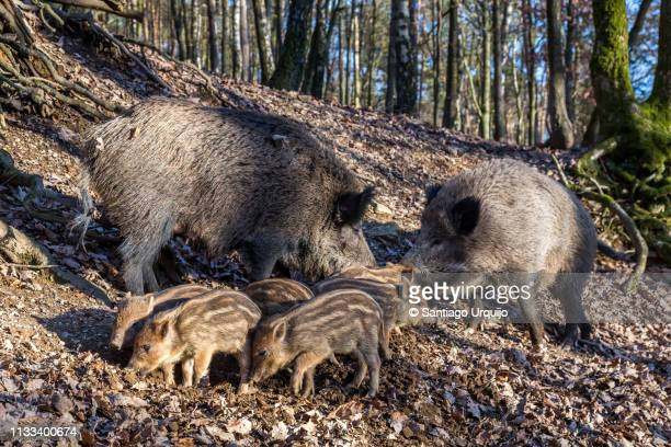 wild boar family - 動物の雄 ストックフォトと画像